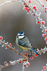 Blue tit on a branch with berries and frost, Midlands, England, UK