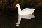 Coscoroba swan swimming on a pond