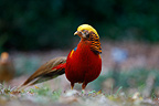 Golden pheasant male in Kew Gardens, London, UK