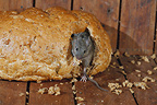House mouse in bread, Midlands, England, UK