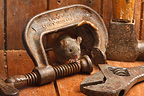 House Mouse by tools, Midlands, England, UK