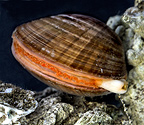 Smooth clam with its siphon