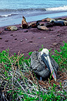 Brown Pelican on its nest, R�bida Island, Galapagos