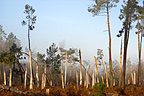 Pine forest, Marcillac, Gironde, France