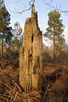 Dead tree trunk in the forest, Reignac, Gironde, France