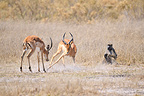 Observing a female baboon fighting Impalas, Botswana