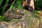 Giant Asian Toad on a branch, Khao Sok National Park, Thailand