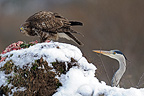 Buzzard and Grey Heron on a point of feeding�