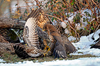Common buzzards fighting in winter