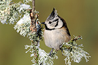 Crested Tit on a branch in winter