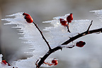 Rosehip frosted berries