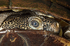 Close up of a Brown sideneck turtle, Bragelogne, Guadeloupe