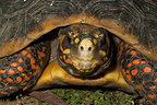 Portrait of a Wood tortoise French Guania