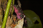 Toad, French Guiana