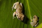 Lesser Antillean whistling frogs, Bois Malher, Guadeloupe