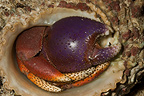 Hermit crab, Guadeloupe�