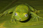 Polka-dot Treefrog on a leaf, French Guiana