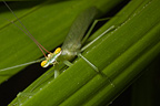 Praying mantis on a leaf, French Guiana