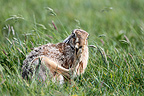 Brown hare cleaning its feet in a meadow in spring, England, UK