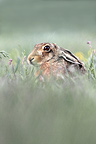 Brown hare sitting in tall grass in spring, England, UK