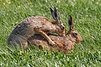 Brown hares mating in a meadow in spring, England, UK