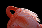 American Flamingo hiding his head in his feathers, Mulhouse, France