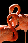 Portrait of two American Flamingoes, Mulhouse, France