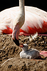 American Flamingo feeding its chick on nest, Mulhouse, France