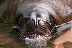 Portrait of a South American Sea Lion, Mulhouse, France (Captive)