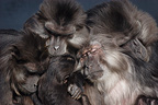 Group of Tonkean Macaques, Mulhouse, France (Captive)