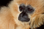 Portrait of a Red-cheeked Gibbon, Mulhouse, France (Captive)