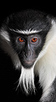 Portrait of a Diana monkey, Mulhouse, France (Captive)