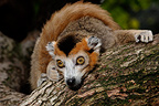 Portrait of a Crowned lemur, Mulhouse, France (Captive)