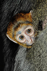 Portrait of a Owl-faced Monkey clinging to its mother, Mulhouse, France (Captive)