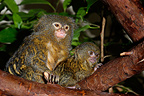 Pygmy Marmoset  with its young in a tree, Mulhouse, France (Captive)