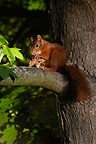 Eurasian Red Squirrel on a maple and a dissecting Hazel