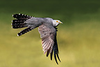 Cuckoo in flight, spring, UK