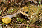 Natterjack Toad  male face a Snail, France