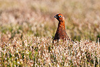 Male Red grouse standing amongst heather, spring, Scotland, UK