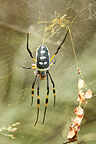 Banded-legged golden orb-web spider on its web, Kruger NP, South Africa