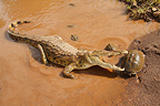Nile Crocodile trying to catch an African helmeted turtle, Kruger NP, South Africa