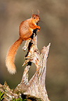 Red squirrel perched on a dead branch, spring Scotland, UK