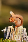 Red squirrel feeding on an old stump, Scotland, UK