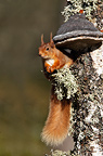 Red squirrel eating sitting near a fungus, Scotland, UK