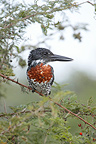 Giant Kingfisher, Kruger NP, South Africa