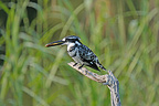 Pied Kingfisher on a branch, Kruger NP, South Africa
