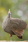 Helmeted Guineafowl, Kruger NP, South Africa