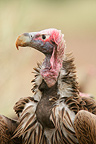 Portrait of a Lappet-faced vulture, Kruger NP, South Africa
