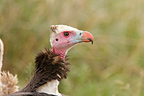 Portrait of a White-headed vulture, Kruger NP, South Africa
