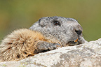 Portrait of an Alpine Marmot, Ecrins NP, France